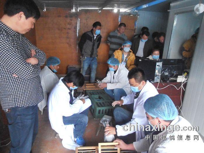 2015年安徽太平公棚预赛集鸽图片 安徽蚌埠